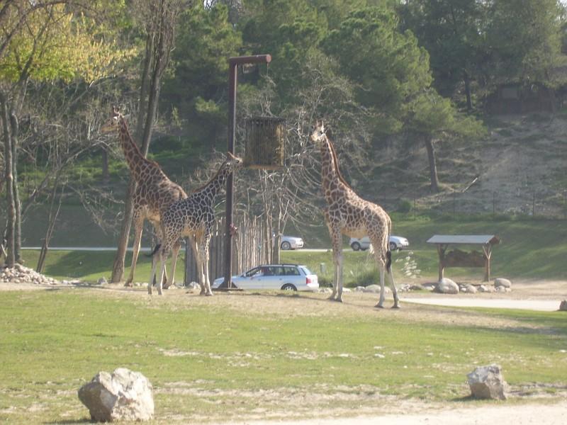 Le Giraffe al Parco Natura Viva (foto album Virgilio)