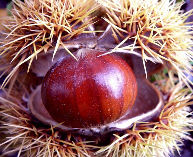 Il riccio e il suo frutto