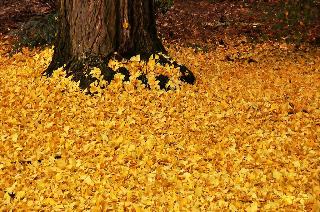 Desidero citare anche i tioli assegnati dall'autore delle foto: queto è Golden Carpet. Molto più fascinoso di quello rosso!