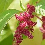 220px-Amaranthus_tricolor0